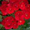 Bunch of Red Roses in Garden
