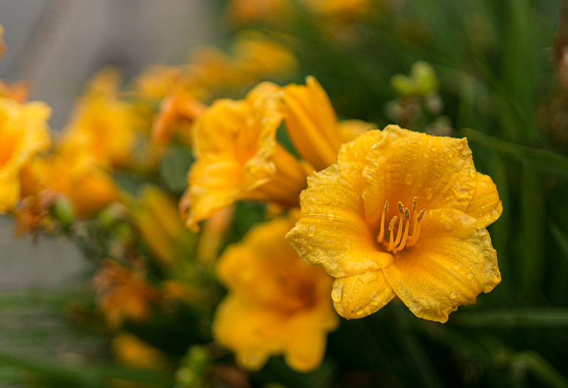 Stella D'Oro Day Lilies