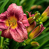 Pale Red Daylily