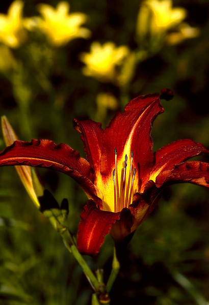 Crimson Variegated Day Lily