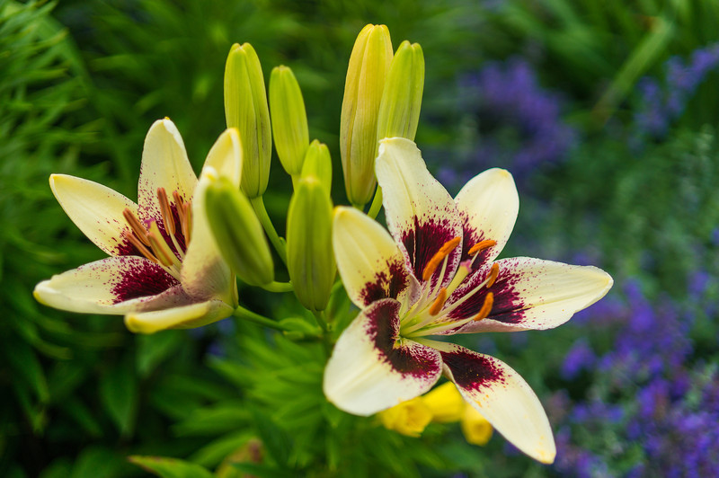 Purple Reign Day Lily