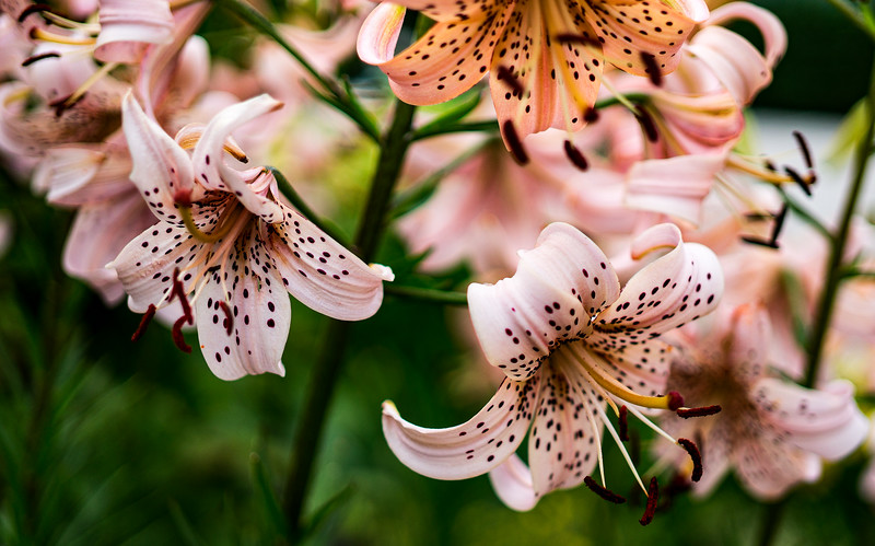 Pink Day Lilies