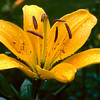 Yellow Asiatic Lilly