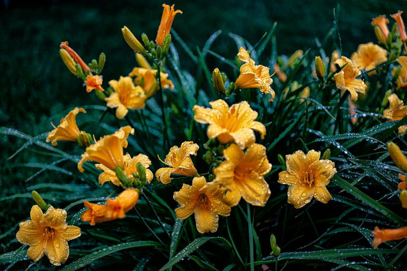 Stella D'Oro Day Lilies after the Rain