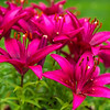Red Asiatic Lilies