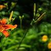 Orange Daylily