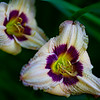 Purple Reign Day Lilies