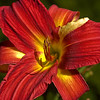 Red Variegated Day Lily