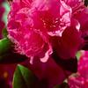 PJM Rhododendrun
