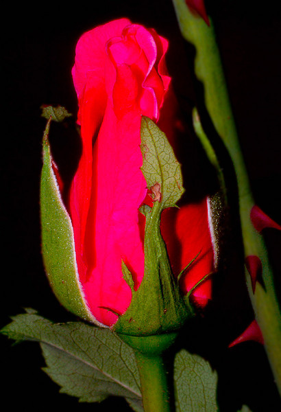 Immature Red Rose