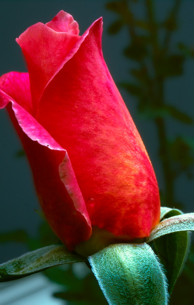 Immature Red Rose