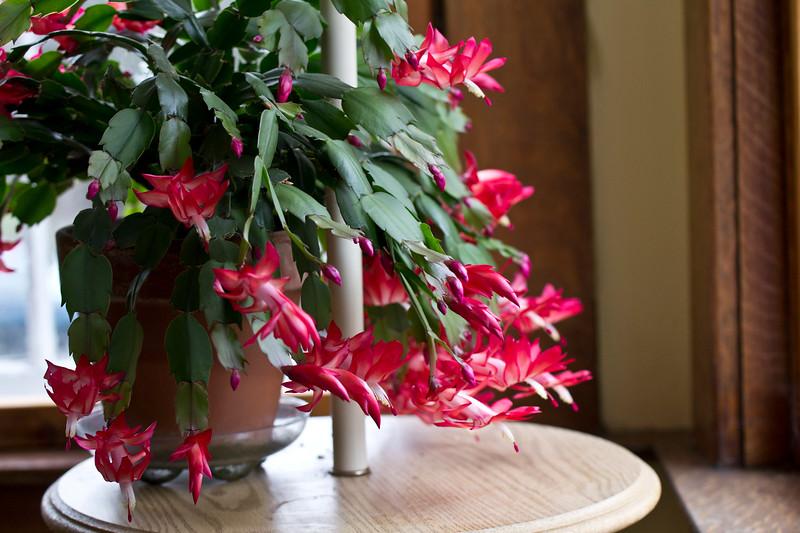 Christmas Cactus in bloom