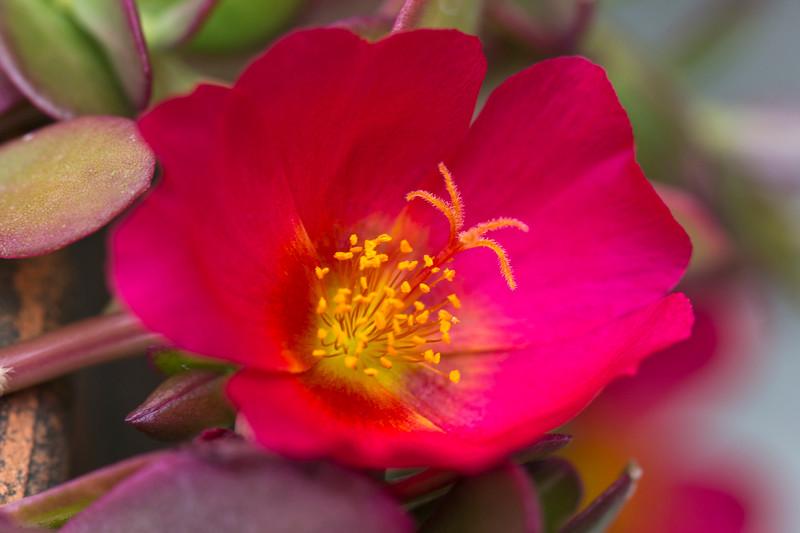 Delicate cactus blooms