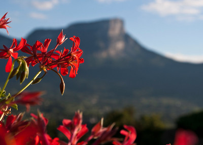 Geraniums with the Mont Granier in background
