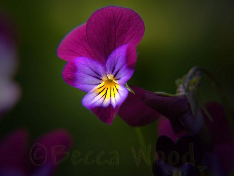 DF 08JU1273<br /> <br /> Viola.