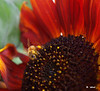 SF 8959<br /> African Queen sunflower with honey bee (Apis spp.).