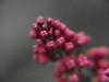 DF 08JU1298<br /> <br /> Lilac