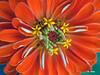 Z 9016<br /> Zinnia flower.