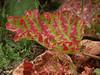 RR 8456<br /> <br /> Rhubarb leaves (Rheum rhabarbarum)