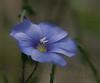 DF 08JU1296<br /> <br /> Blue Flax.