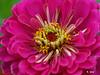 Z 9006<br /> Zinnia flower.