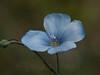 DF 08JU1290<br /> <br /> Blue Flax.