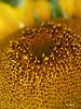 SF 8944b<br /> Domestic sunflower.