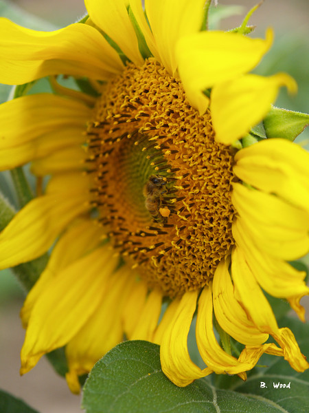 SF 9004<br /> Domestic sunflower with honey bee (Apis spp).