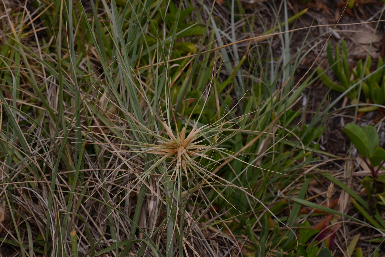 A sign of a healthy dune, with seed now forming from the Spinifex grass.  On the right can be seen other components of a healthy dune, the Pigface and Pes Carpae.