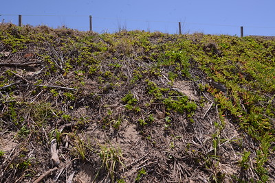 At the beginning of repair and recovery.  The garden waste has been removed, and we are starting to removed the dead bitou sticks.  We are short of replacement plants and remove the Singapore Daisy a little at a time.  Note  healthy Pigface on north side which tends to grown down rather than across the dune.   See at time left the dune grasses coming into seed.  There are more bare areas than is ideal but best I can do.   Some people say that garden waste helps to protect the dune by stopping the sand blowing away; better than established natives are growing there as they do the job better.  Lawn grass clippings may introduce non native grasses which do not do well on the dune face.  Once the natives get re established in turn they seem to inhibit the growth of the exotics.