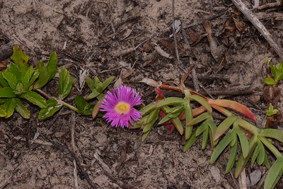 On the left the Singapore Daisy, and on the right a Pes Carpae in bloom.   The Singapore Daisy is a traveller and a binding plant however it takes over creating a monoculture, as does Bitou, so nothing else will grow.   I pull the Daisy out by hand and replant, or wait under there is spontaneous regrowth of natives.   There is plenty of organic material in this dune face sand so native plants regenerate quite quickly.  The Pigface along with the grasses and Pes Carpae are the heavy lifters of the dune face.
