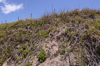 I intend this gallery to give a brief overview of dune repair and regeneration. It revolves around our observations and activities along the southern Wooli dune.  In areas this dune is sick, and as  result is unstable thus prone to sand slippage.  By my measurements since bad storms of 2009 about 12 feet has been lost from the top of the dune.  I am not sure if this is recoverable.  With sand fences we have re grown the foredune thus rebuilt a sand bank to buffer the main dune from wave impact.  We received no help from the Council to rebuild the lost dune in 2009, and again no help following the storms of 2016. If we have another event like these, then the dune top could be lost back to the property boundaries.   On this picture, this area of dune is in recovery mode.  Note  sticks of dead bitou.  There is persisting bitou and Singapore Daisy which will be progressively removed once new plants can go in.  Obvious sand slippage in areas devoid of plants.  Priority area for bandaid repair.