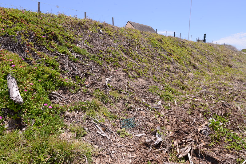 On the left is re growth Pigface now coming down the dune face.  If given a chance the Pigface spreads quite well.  At the base of the dune centre right is an accumulation of dead garden materials and Singapore Daisy which I am raking  out and removing.  The dune has only limited capacity to recycle dead plant material, a fact which is not  generally appreciated.   Note lawn grass growing in foreground a consequence of dumping.   Note vigourous Pes Carpae plant on lower right; these are to be encouraged.   The coutour of this section of dune is reasonable, not 30 degrees which is ideal, but somewhere in the range of 30 to 45 degrees.