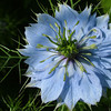 Nigella hispanica