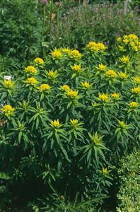 Euphorbia valdevillosocarpa