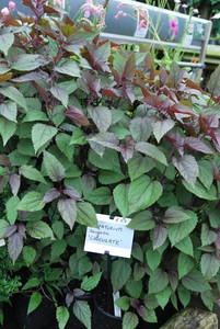 Eupatorium rugosa 'Chocolate'