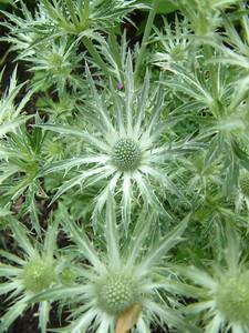 Eryngium bourgatii 'Stuart Graham Thomas'