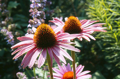 Echinacea 'Robert Bloom'