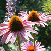 Echinacea 'Robert Bloom'
