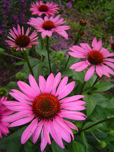 Echinacea purpurea 'The king'