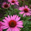 Echinacea purpurea 'The king'