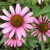 Echinacea 'Pixie Meadowbrite'