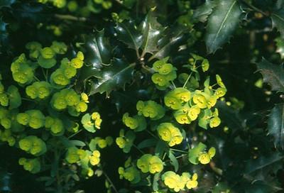 Euphorbia amygdaloides var robbbiae