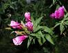 Godetia - Satin Flower - Clarkia