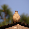 Easter visitor to our housetop.  Mocking bird fiddling on the roof.