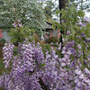 Wisteria in the front yard.  Nice time to be a porch rocker.