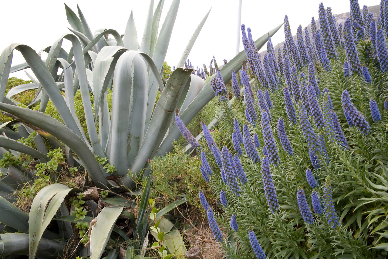 Echium fastuosum, a genus natus to Mediterranean regions, Canary Islands and Madeira