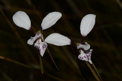 "White Donkey Orchids, ""Diuris alba""."