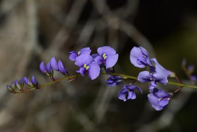 """Hardenbergia violacea""  False Sarsparilla."