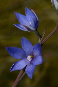 Wallum Sun Orchid.